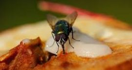 Što se zapravo dogodi s hranom kada na nju sleti muha – istina je puno gora nego što mislite!