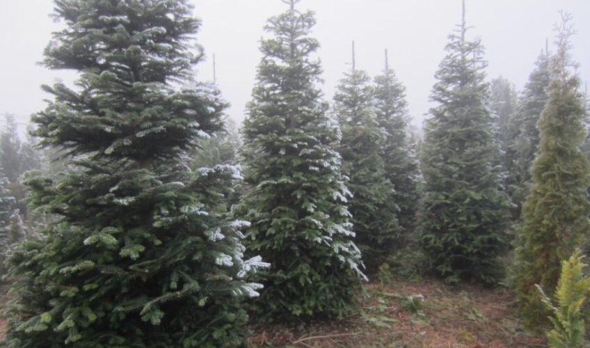 Kako kupiti dobro božićno drvce?