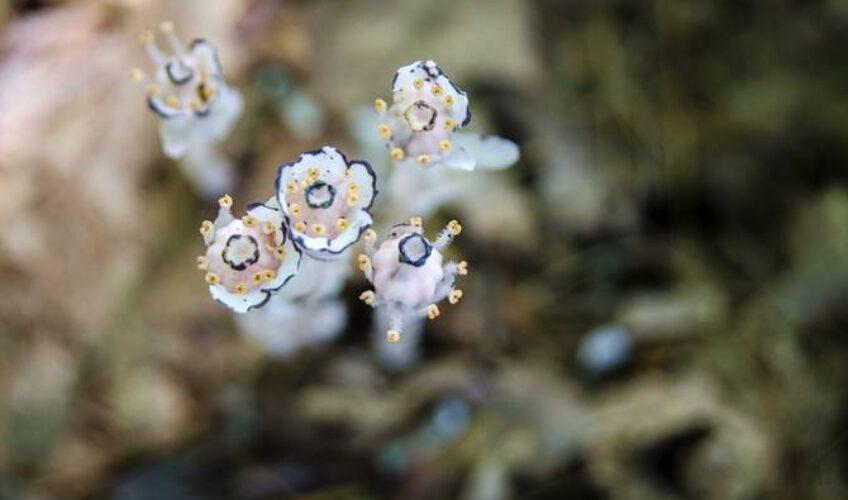 Od njega rade ljubavne napitke: Indijanska lula je cvijet kakav niste vidjeli