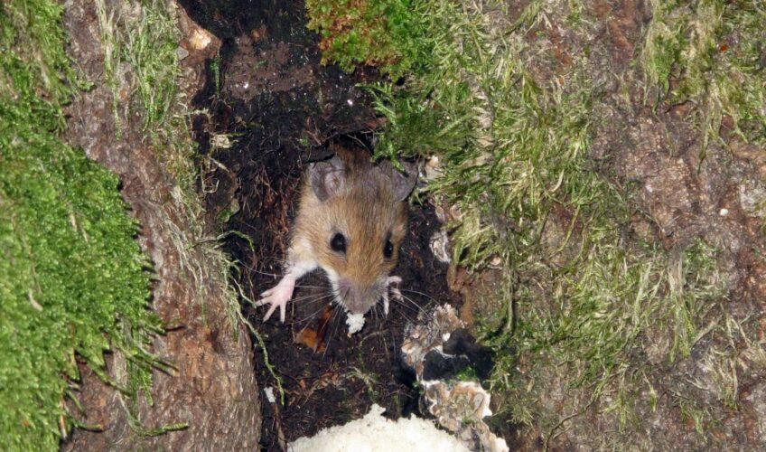 U Gorskom kotaru oko 40 slučajeva mišje groznice, hospitaliziran manji dio zaraženih