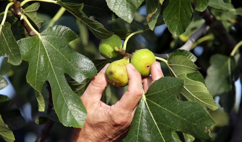 Uzgajivači ovu godinu 'prekrižili: 'Ako dobijemo 10 kg po stablu bit ćemo sretni. Inače bude 40'